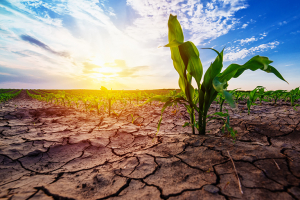 Young corn growing in dry environment: Experts discuss the enhancement of plant vitality while limiting agricultural yield losses due to climate change. (Photo: ©2017 Igor Stevanovic - stock.adobe.com)